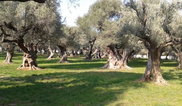 les jardins d ol as la m moire des oliviers. Black Bedroom Furniture Sets. Home Design Ideas